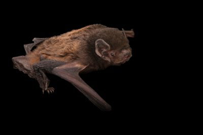 Photo: Gould's wattled bat (Chalinolobus gouldii) from the Australian Bat Clinic and Narrow Leaf Retreat.