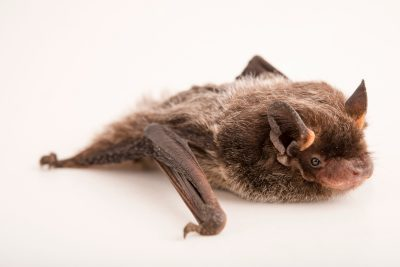Photo: Silver-haired bat (Lasionycteris noctivagans) at RD Wildlife Management in Albuquerque.