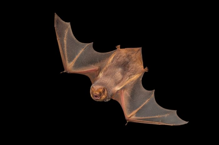 Photo: Seminole bat (Lasiurus seminolus) at the Austin Bat Refuge.