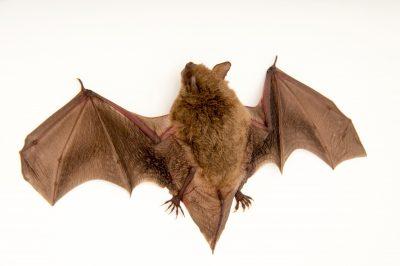 Photo: Cave myotis (Myotis velifer) at the Austin Bat Refuge.