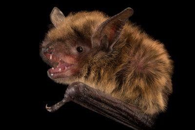 Photo: Little brown bat (Myotis lucifugus) at the Wildlife Rehabilitation Center in Roseville, Minnesota.