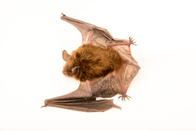 Photo: Little brown bat (Myotis lucifugus) at the Wildlife Rehabilitation Center in Roseville, Minnesota.