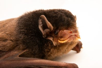 Photo: Gould's wattled bat (Chalinolobus gouldii) at Victoria, Australia.
