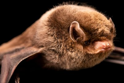 Photo: Southern bent-winged bat (Miniopterus orianae bassanii) at Victoria, Australia.