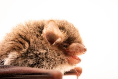 Photo: Little forest bat (Vespadelus vulturnus) at Victoria, Australia.