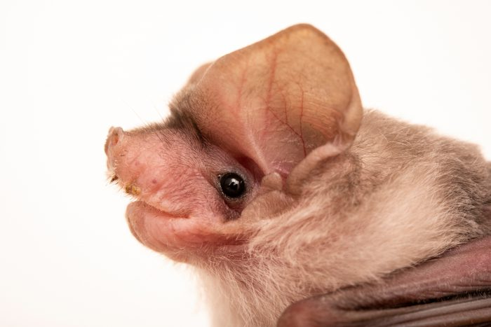 Photo: Southern freetail bat (Mormopterus planiceps) at Victoria, Australia.