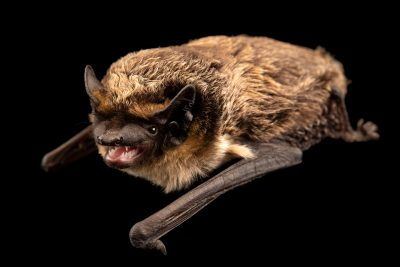 Photo: Parti-colored bat (Vespertilio murinus) at the Moscow Zoo.