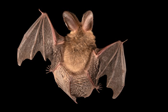 Photo: Brown long-eared bat or common long-eared bat (Plecotus auritus) at the Moscow Zoo.