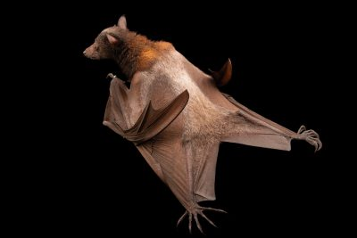 Photo: A Common fruit bat (Pteropus hypomelanus hypomelanus) at Negros Forest Park.