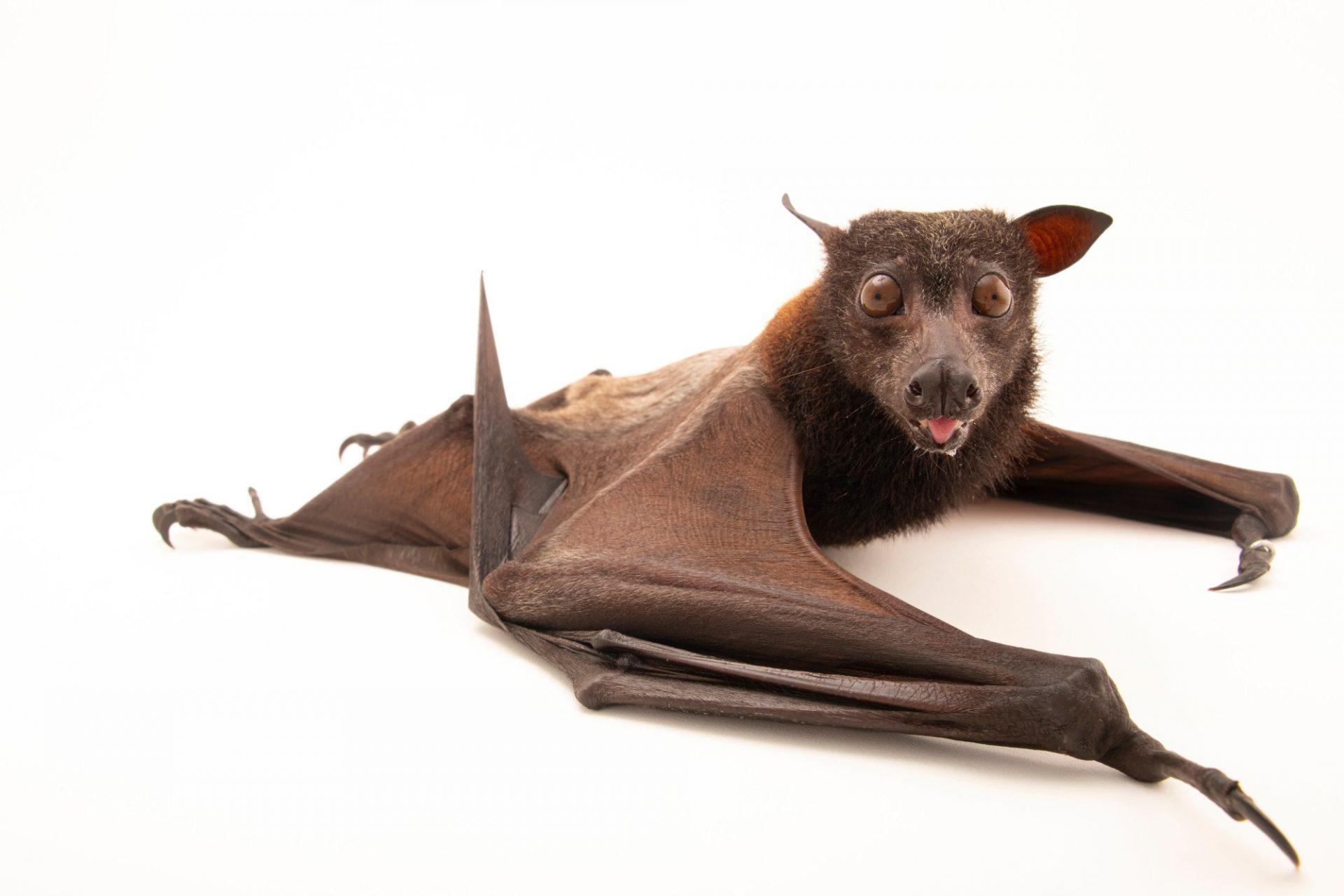 Photo: A Common fruit bat (Pteropus hypomelanus hypomelanus) at Negros Forest Park.