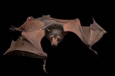 Photo: A Giant malay fruit bat (Pteropus vampyrus lanensis) at Negros Forest Park.