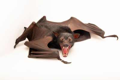 Photo: A Giant malay fruit bat (Pteropus vampyrus lanensis) at Negros Forest Park.