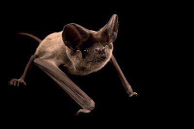 Photo: An European free-tailed bat (Tadarida teniotis) at the Wildlife Rescue Center of Rome (LIPU).