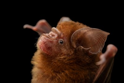 Photo: A Philippine forest roundleaf bat (Hipposideros obscurus) at the University of the Philippines.