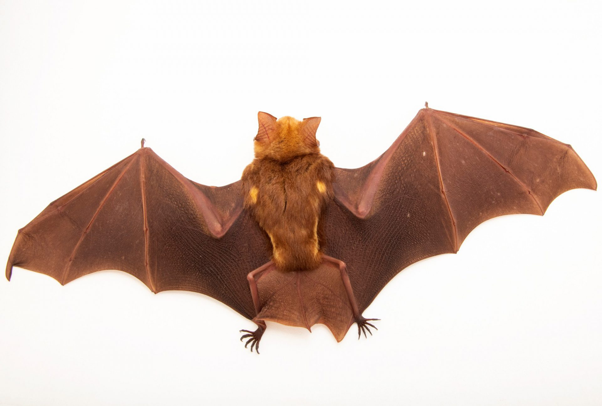 Photo: A diadem leaf-nosed bat (Hipposideros diadema) at the University of the Philippines.