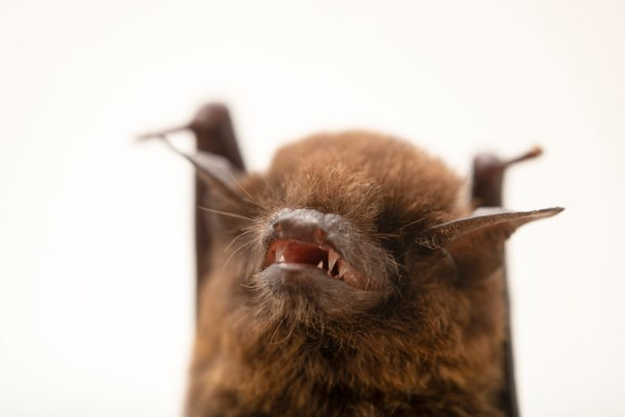 Photo: A Nepalese whiskered bat (Myotis muricola) at the University of the Philippines.