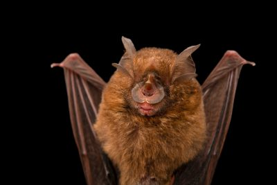 Photo: A yellow-faced horseshoe bat (Rhinolophus virgo) at the University of the Philippines.