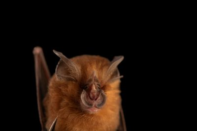 Photo: An arcuate horseshoe bat (Rhinolophus arcuatus) at the University of the Philippines.