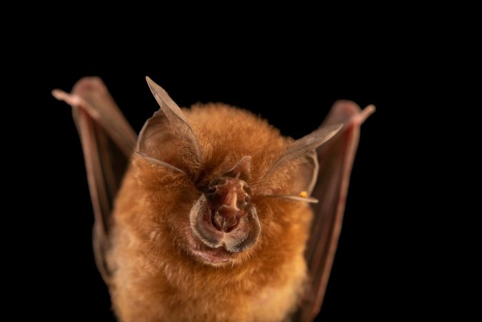Photo: A Philippine forest horseshoe bat (Rhinolophus inops) at the University of the Philippines.