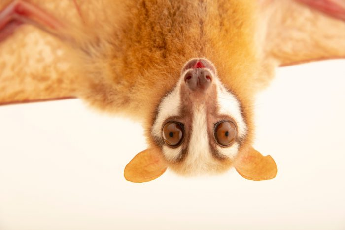 Photo: A masked flying fox (Pteropus personatus) at a private collection in Jakarta, Indonesia.