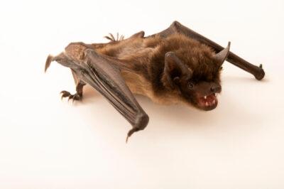 Photo: A Serotine bat, Eptesicus serotinus, at Wildwood Trust near Canterbury, England.