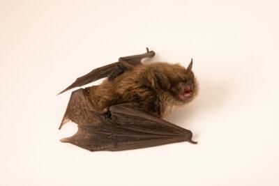Photo: A whiskered bat, Myotis mystacinus, at Wildwood Trust near Canterbury, England.
