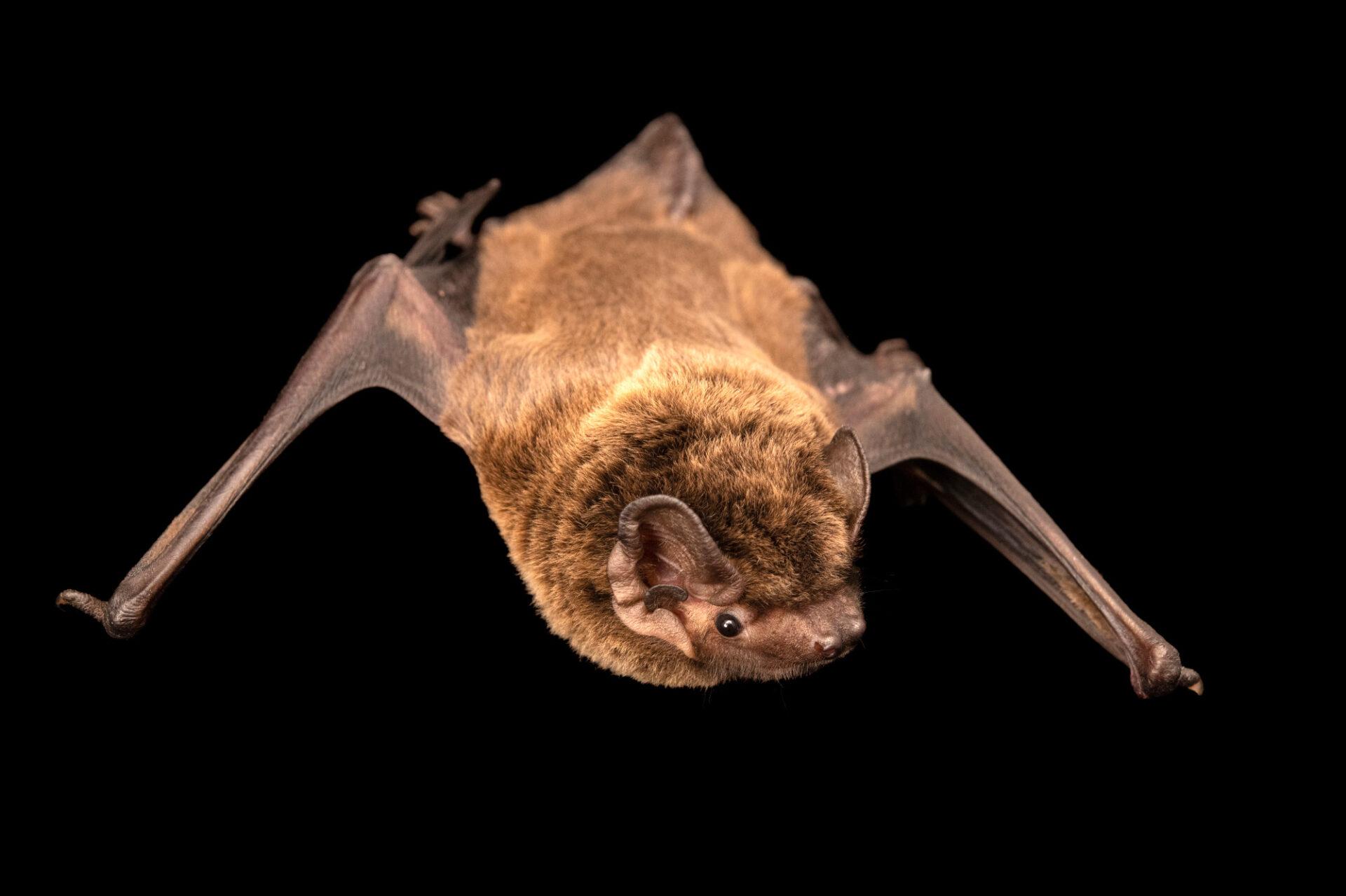 Photo: A LeislerÕs bat, Nyctalus leisleri, at Wildwood Trust near Canterbury, England.