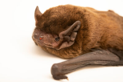 Photo: A LeislerÕs bat, Nyctalus leisleri, at Wildwood Trust near Canterbury, England.