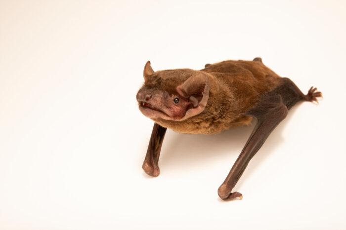 Photo: A noctule bat, Nyctalus noctula, at Wildwood Trust near Canterbury, England.