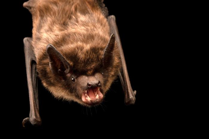 Photo: A serotine bat (Eptesicus serotinus) at Wildwood Trust near Canterbury, England.