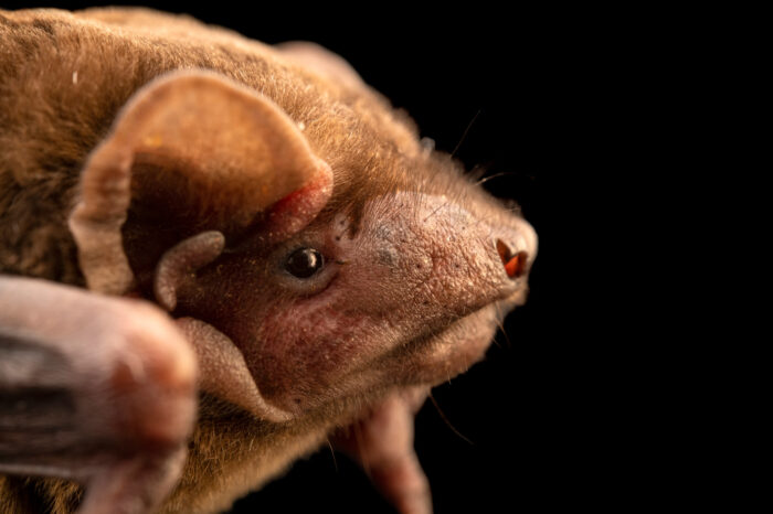 Photo: A noctule bat (Nyctalus noctula) at Wildwood Trust near Canterbury, England.