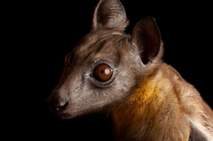 Photo: A straw-colored fruit bat (Eidolon helvum) at the Tulsa Zoo.