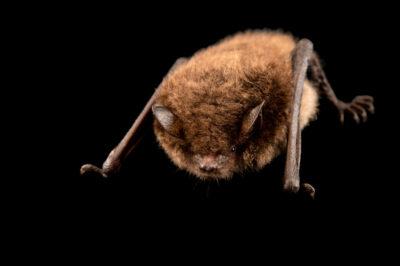 Photo: A Daubenton's bat (Myotis daubentonii) at Hessilhead Wildlife Rescue.