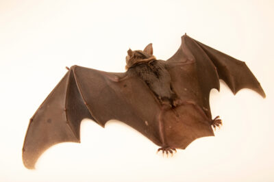 Photo: A pale-faced bat (Phylloderma stenops) at BioParque do Rio.