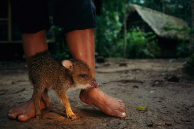 Photo: An orphaned peccary hovers near a worker at camp.