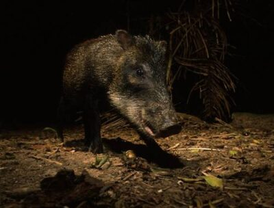Photo: A white-lipped peccary (Tayassu pecari) takes its own picture when it breaks the beam of an infrared camera trigger in Brazil's Pantanal region.