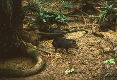 Photo: Two peccary in Madidi National Park, Bolivia.