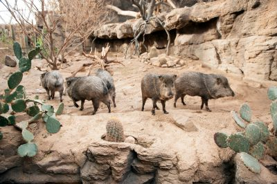 A group of collared peccaries (Pecari tajacu) at the Omaha Zoo.