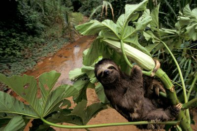 Photo: A three-toed sloth clings to an ambaibo tree in Madidi National Park, Bolivia.