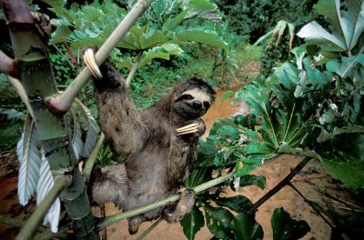 Photo: A three-toed sloth clings to an ambaibo tree in Madidi National Park, Bolivia.