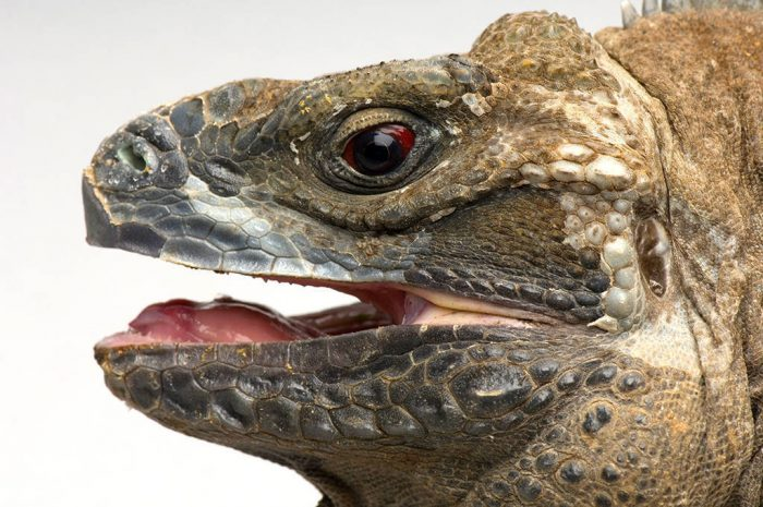 A Jamaican iguana (Cyclura collei) from the Sedgwick County Zoo. This is one of the most critically endangered lizards in the world. Listed as critically endangered (IUCN) and federally endangered