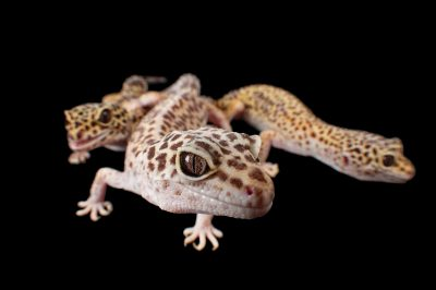 Photo: Three female leopard geckos (Eublepharis macularius) at the Sunset Zoo in Manhattan, Kansas.