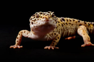 Photo: A leopard gecko (Eublpharis macularis) from the Lincoln Children's Zoo in Lincoln, Nebraska.