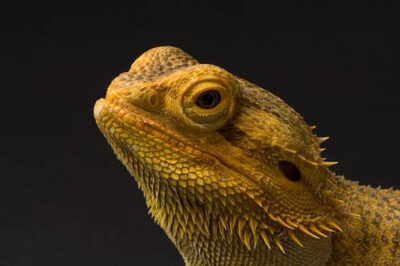 An inland bearded dragon (Pogona vitticeps) at Sedgwick County Zoo.