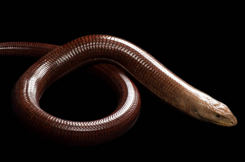 Photo: Sheltopusik (a type of legless lizard),Ophisaurus apodus, at the Sedgwick County Zoo.