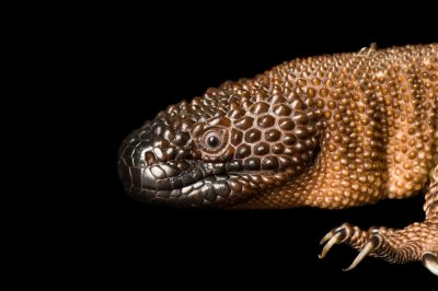 Photo: A Mexican beaded lizard (Heloderma exasperatum) at the Sedgwick County Zoo.
