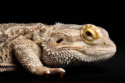 Photo: An inland bearded dragon (Pogona vitticeps) at the Kansas City Zoo.