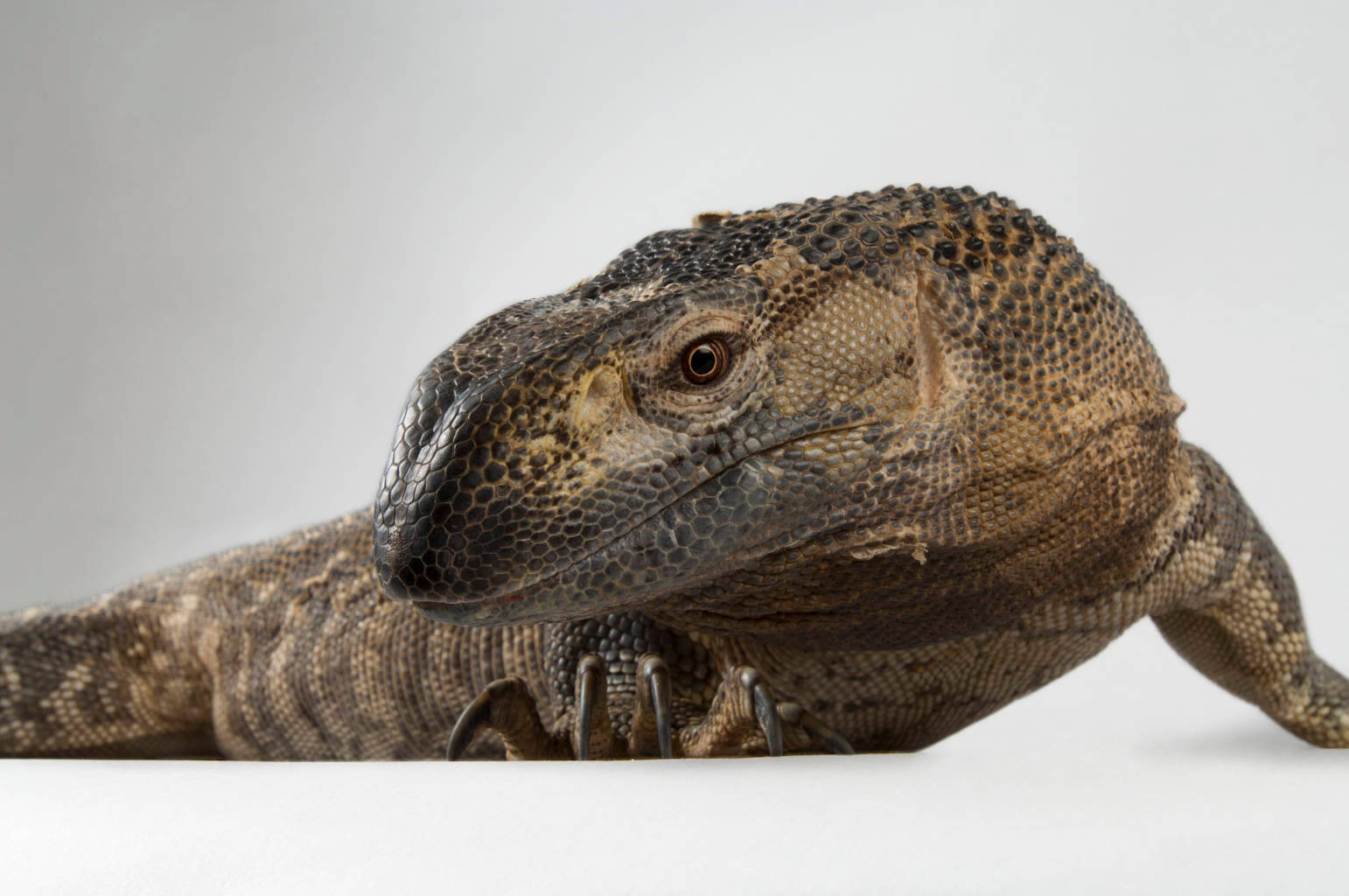 A black-throated monitor (Varanus albigularis ionidesi) at the Kansas City Zoo.