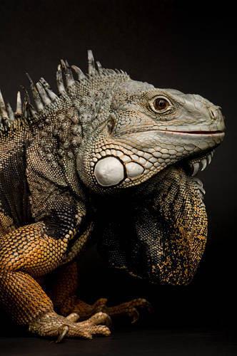 Photo: A green iguana (Iguana iguana) at the Kansas City Zoo.