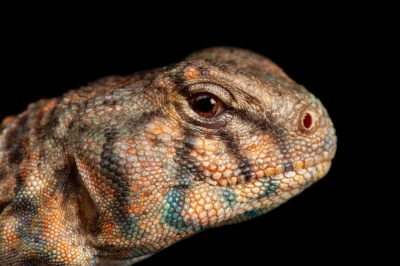 An ocellated uromastyx lizard (Saara hardwickii) at the Denver Zoo.